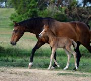 First El Condo Foal born in the USA owned by Dr Kellee Campbell