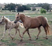 Colt foal out of Stanton Stud Evita for Jenelle Young
