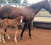 Colt foal out of Select'n'Oak for Kelly Smith