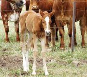 Filly out of Bens Gold Dust for  Laura Macintosh
