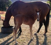 Filly out of open mare Noons Acre for Sarah Adam