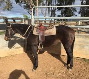15hh Filly by Royal Reflect retained by Grant Watham